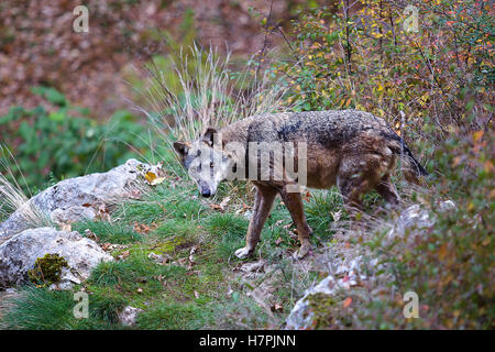 Apennine wolf, Canis lupus italicus. Typical of this exemplary wolf in the forests and in the Italian woods. - Stock Photo