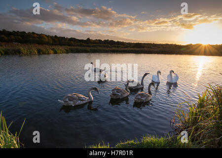 Family of mute swans (Cygnus olor) with six cygnets on the Basingstoke Canal at sunset, Hampshire, UK, wildlife, - Stock Photo