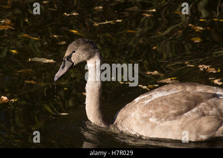 Cygnet 'Cygnus olor' in morning light at Fleet Pond Nature Reserve in Hampshire, England - Stock Photo