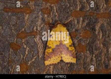 Violett-Gelbeule, Weiden-Gelbeule, Weidengelbeule, Xanthia togata, Pink-barred Sallow. Eulenfalter, Noctuidae, noctuid - Stock Photo