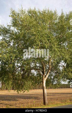 Zitterpappel, Zitter-Pappel, Pappel, Espe, Habitus, Populus tremula, Aspen - Stock Photo
