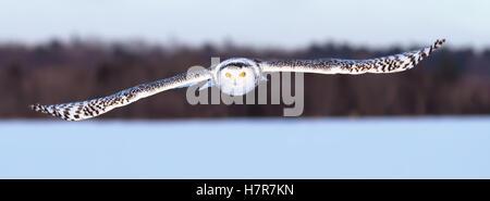 Snowy owl flies low over an open snowy field in Canada - Stock Photo