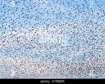 Sky full of starlings birds during a murmuration in Aberystwyth, Wales UK. - Stock Photo