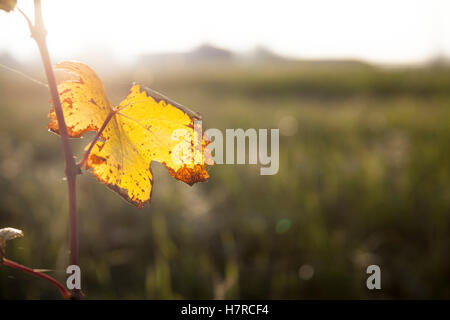 Single yellow dry grapevine leaf in autumn time hanged on a twig - Stock Photo