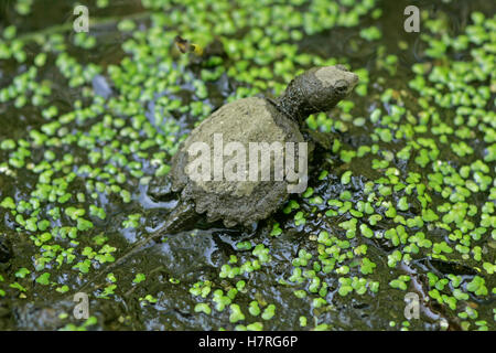Baby Snapping Turtle Leaving The Nest - Stock Photo