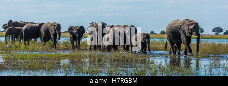Panorama of elephants (Loxodonta africana) crossing shallow muddy river; Botswana - Stock Photo