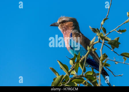Close up of a lilac-breasted roller (Coracias caudatus) on leafy branch; Botswana - Stock Photo