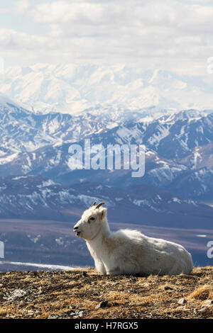 Dall sheep ewe resting on a ridge with Denali in the background, Interior Alaska, spring - Stock Photo