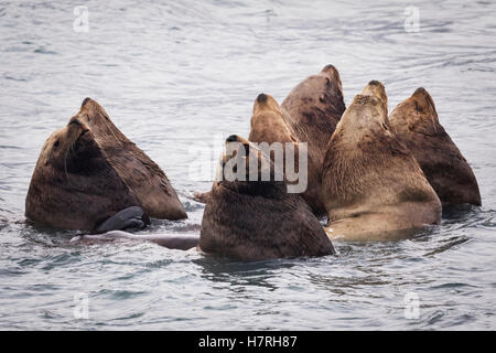Herd of Stellar Sea Lions in shallow water near Dayville Road, Valdez, Southcentral Alaska, United States of America - Stock Photo