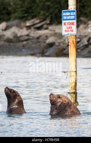 Stellar sea lions near the fish hatcher along Dayville Road, Valdez, Southcentral Alaska, USA - Stock Photo