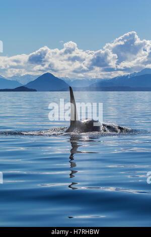 An Orca Whale, or Killer Whale, (Orcinus orca) surfaces near Juneau in Lynn Canal, Inside Passage; Alaska, USA - Stock Photo