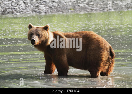 Adult female grizzly bear (ursus arctos horribilis) stands in pond, Valdez area near fish hatchery at Allison Point; - Stock Photo