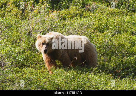 Grizzly (ursus arctos horribilis) near park road, Denali National Park and Preserve, interior Alaska in summertime; - Stock Photo