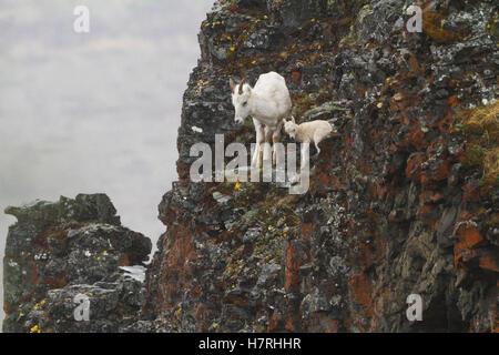 Dall sheep (ovis dalli) ewe and lamb, Denali National Park and Preserve, interior Alaska in summertime, Polychrome - Stock Photo
