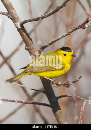 Close up of adult Wilson's Warbler (Cardellina pusilla), south-central Alaska; Alaska, United States of America - Stock Photo