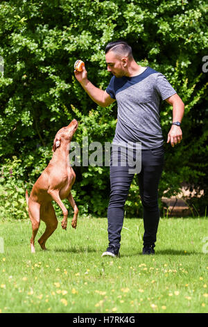 Man holds toy up for Hungarian Vizsla; Reigate, England - Stock Photo