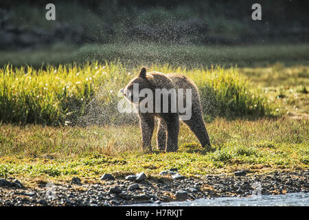 Brown bear (ursus arctos) shaking the water off after fishing, Geographical Bay; Alaska, United States of America - Stock Photo