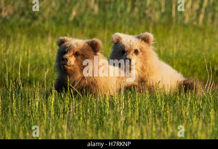 Alaskan coastal bear cubs (ursus arctos) in a grass field, Lake Clark National Park; Alaska, United States of America - Stock Photo