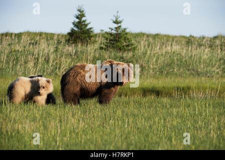 Alaskan coastal bears (ursus arctos), sow and cubs, standing in a grass field, Lake Clark National Park; Alaska, - Stock Photo