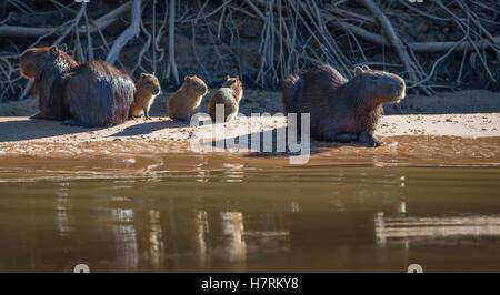 Capybara (Hydrochoerus hydrochaeris); Pantanal Conservation Area; Brazil - Stock Photo