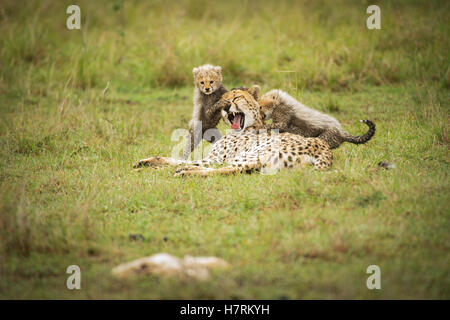 Cheetah (Acinonyx jubatus) with it's cubs, Maasai Mara National Reserve; Kenya - Stock Photo