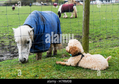 A cockapoo sits on the grass on the other side of a fence watching a Shetland Pony (Equus ferus caballus); South - Stock Photo