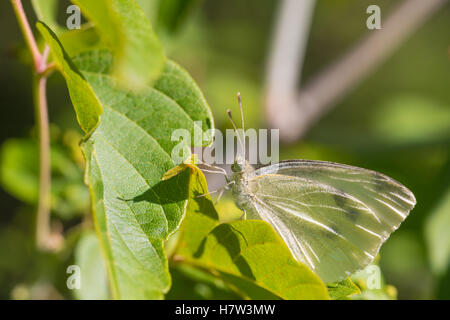A cabbage white butterfly, Pieris rapae, basking in the early morning sunshine along side a forest trail. - Stock Photo