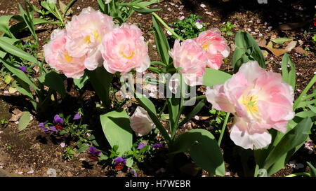 Gorgeous peony tulips in full bloom - Stock Photo