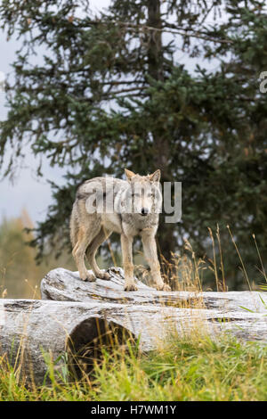 CAPTIVE: Young Gray wolf pup standing on a log, Alaska Wildlife Conservation Center, Southcentral Alaska, USA - Stock Photo