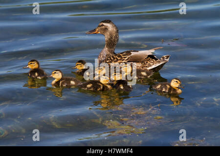 A mallard hen duck and her brood of ducklings at Cheney Lake in Anchorage, Southcentral Alaska, USA - Stock Photo