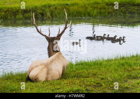 Captive Bull elk lays and watches a small group of Mallards swim by, AK Wildlife Conservation Center, Southcentral - Stock Photo