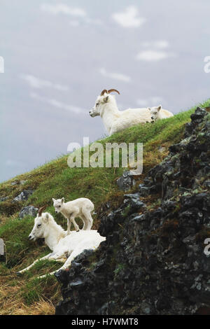 Dall sheep ewes and lambs. Denali National Park & Preserve in Interior Alaska in Summer. Polychrome Pass area of - Stock Photo