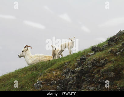 Dall sheep ewe and lamb. Denali National Park & Preserve in Interior Alaska in Summer. Polychrome Pass area of the - Stock Photo