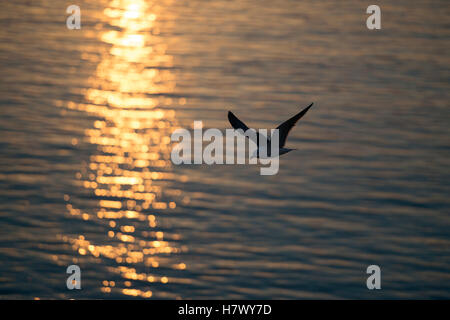 Lesser Black-backed Gull  ( Larus fuscus ) in flight above open water, backlit situation, golden sunlight shimmering - Stock Photo