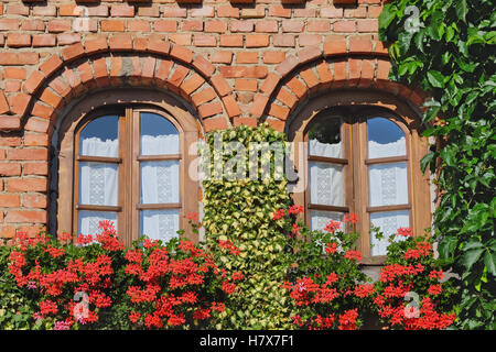 Arched windows with geraniums in window box and ivy on the red brick wall - Stock Photo