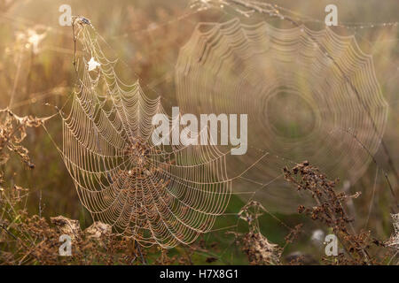 Two webs of the spider.Two big spider webs in the morning in the field on the dry grass, blur and legible webs. - Stock Photo
