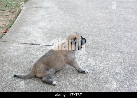 German Shepherd puppie sitting on the cement,selective focused - Stock Photo