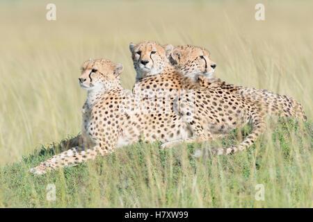 Three Cheetah (Acinonix jubatus) lying down on hill at savanna, Maasai Mara National Reserve, Kenya - Stock Photo