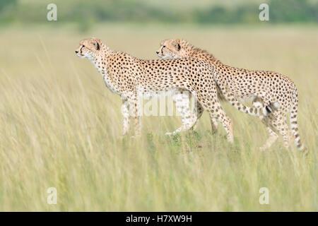 Two Cheetah (Acinonix jubatus) standing on the look out at savanna, Maasai Mara National Reserve, Kenya - Stock Photo