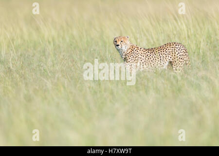 Cheetah (Acinonix jubatus) walking on savanna in high grass, Maasai Mara National Reserve, Kenya - Stock Photo