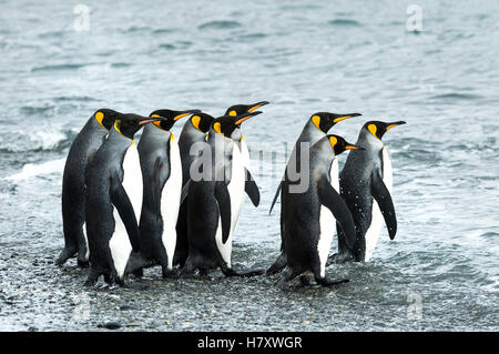 King penguins (Aptenodytes patagonicus)in Fortuna Bay; South Georgia, South Georgia and the South Sandwich Islands, - Stock Photo