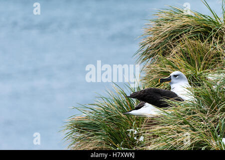 Black-browed albatross (Thalassarche melanophris) nesting; South Georgia, South Georgia and the South Sandwich Islands, - Stock Photo