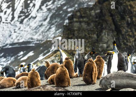 King penguins (Aptenodytes patagonicus) and juveniles with an Antarctic Fur Seal (Arctocephalus gazella) on the - Stock Photo