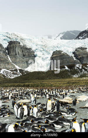 Colony of King penguins (Aptenodytes patagonicus) in the water and on the shore with ice and snow on the mountains; - Stock Photo