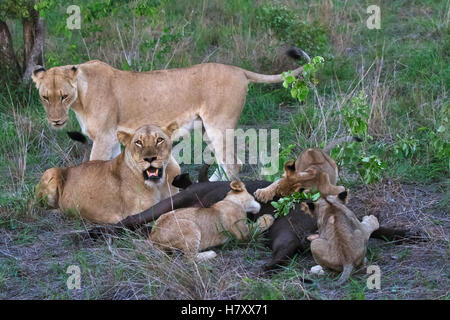 A pride of lions (Panthera leo) eating a water buffalo, Sabi Sand Game Reserve; South Africa - Stock Photo