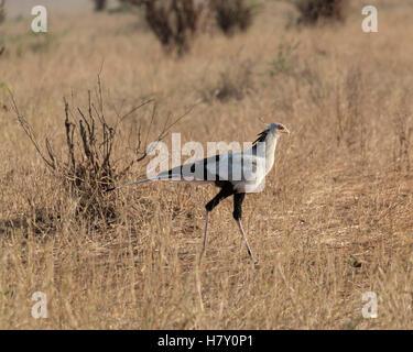 A Secretary Bird hunting across the savanna in Tarangire National Park Tanzania - Stock Photo
