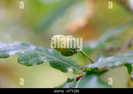 acorn in an oak tree autumn favourite - harmony Jane Ann Butler Photography JABP1679 - Stock Photo