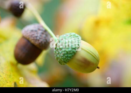 acorns in an oak tree autumn favourite Jane Ann Butler Photography JABP1678 - Stock Photo