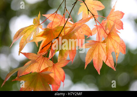 acer palmatum amoenum, sunlight looking through japanese maple autumn leaves Jane Ann Butler Photography JABP1684 - Stock Photo