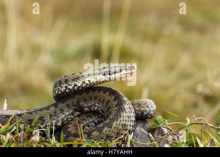 female common european adder or viper ready to strike ( Vipera berus ) - Stock Photo
